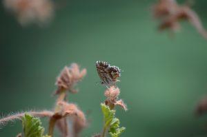 Sadhana-Schmetterling